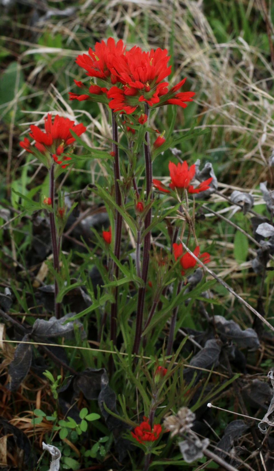 Indian paintbrush whole plant